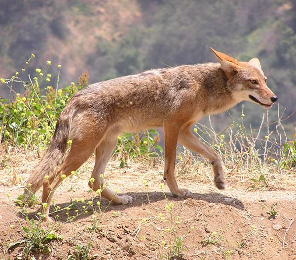 Canis_latrans